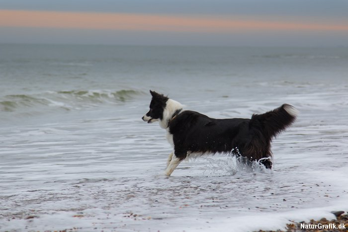 Hunde ved stranden.